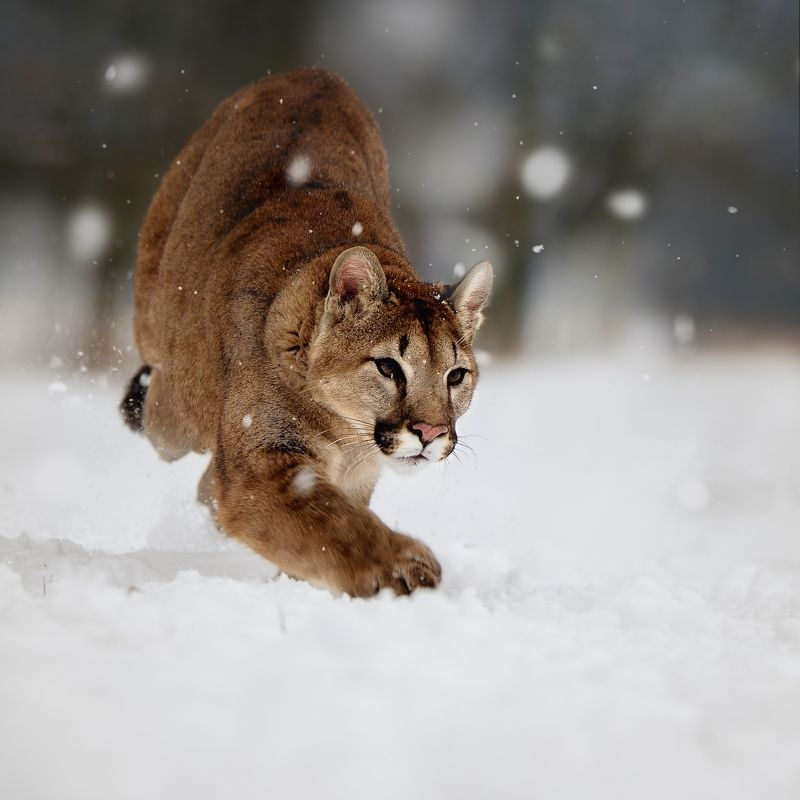 cougar, snow, running I am comingphoto preview