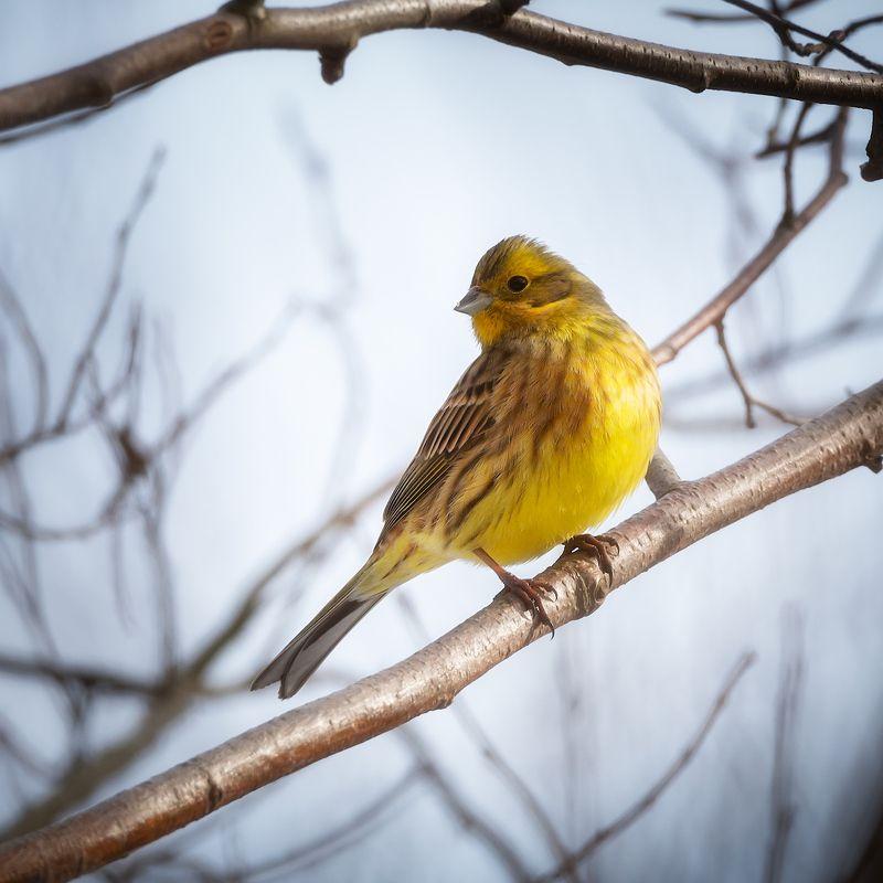 овсянка, птицы, фотоохота Обыкновенная овсянкаphoto preview