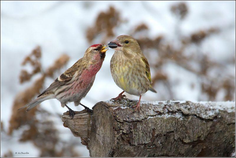 птицы,чечётка,зеленушка,дай,подержать Дай подержать )photo preview