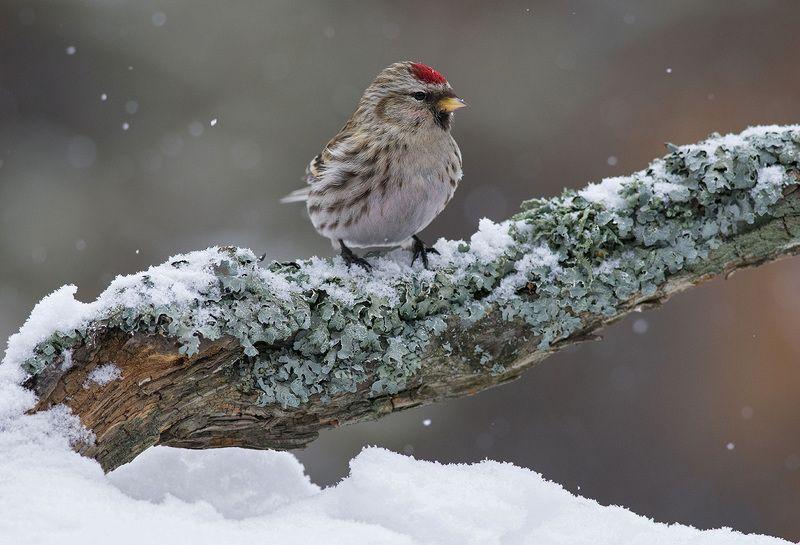 зима,снег,чечётка,бор Всё ещё зима...photo preview