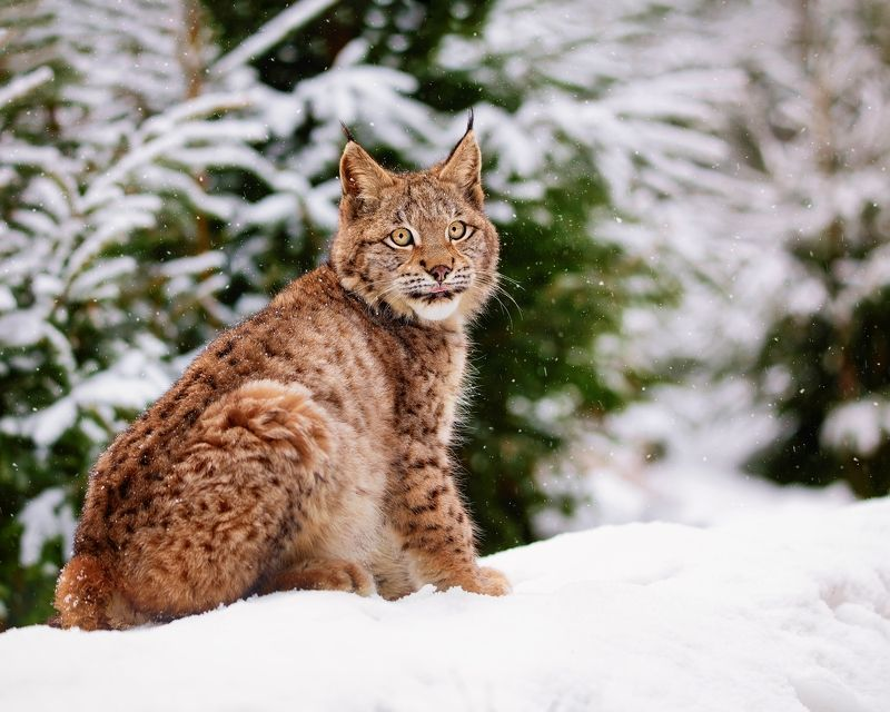 Bobcat in winter forestphoto preview