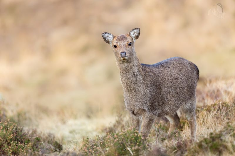 Sika doephoto preview