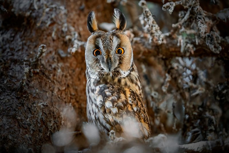 Long-eared Owl (Asio otus)...photo preview