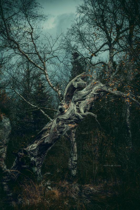лес леший плато лагонаки дерево коряга страж Лесной стражphoto preview