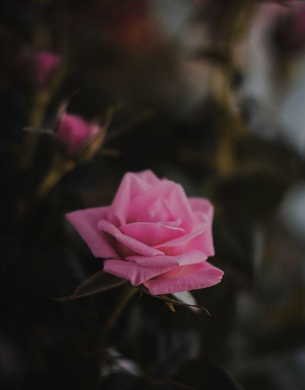 макро, арт,природа,цветы Розаphoto preview