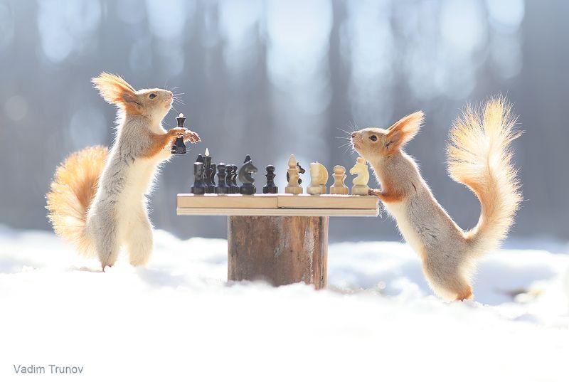 белка, шахматы, squirrel Ход королевойphoto preview