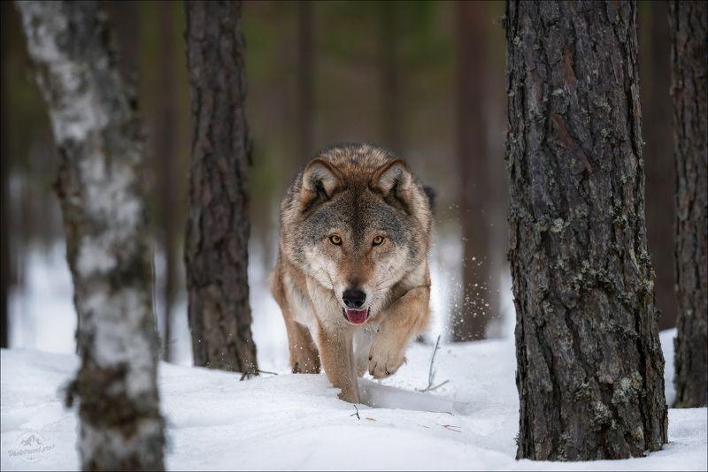 волк, wolf, красная шапочка, беларусь, красный бор, фототур в красный бор, фотоохота, дикая природа беларуси, canis lupus, red riding hood, серый волк, обыкновенный волк, евразийский волк, европейский волк В поисках Красной Шапочки ..photo preview