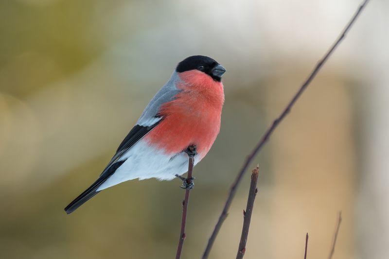 снегирь, обыкновенный снегирь, pyrrhula pyrrhula, самец снегиря, красная грудка, зимняя птица, птица в лесу, март, 2021, весна, Вдохновляющий образphoto preview