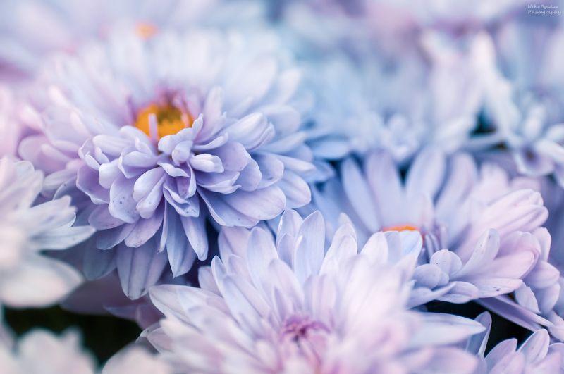 макро, природа, весна, осень, цветы, хризантема, эрика, боке, вереск, цветение, лепестки, macro, nature, spring, autumn, flowers, chrysanthemum, erica, bokeh, heather, bloom, petals Цветочная подборкаphoto preview