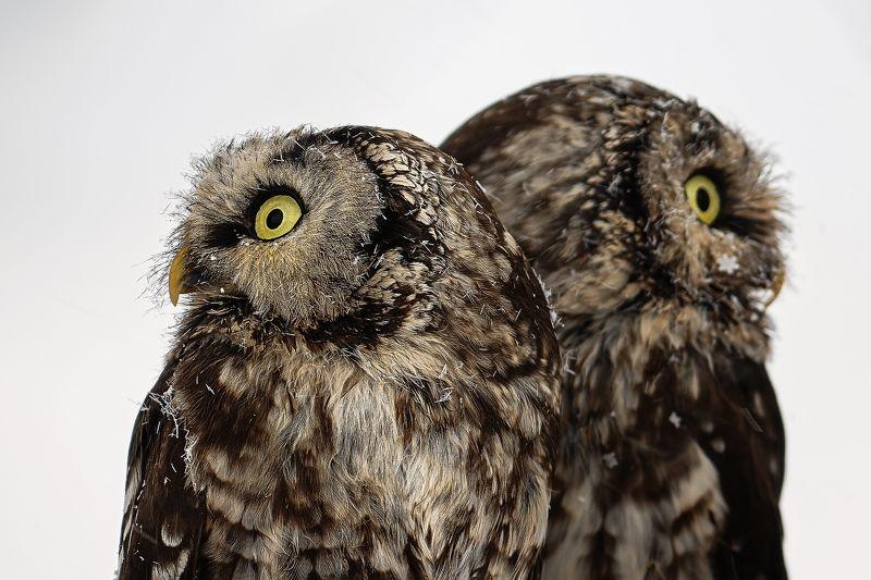 Boreal owlsphoto preview