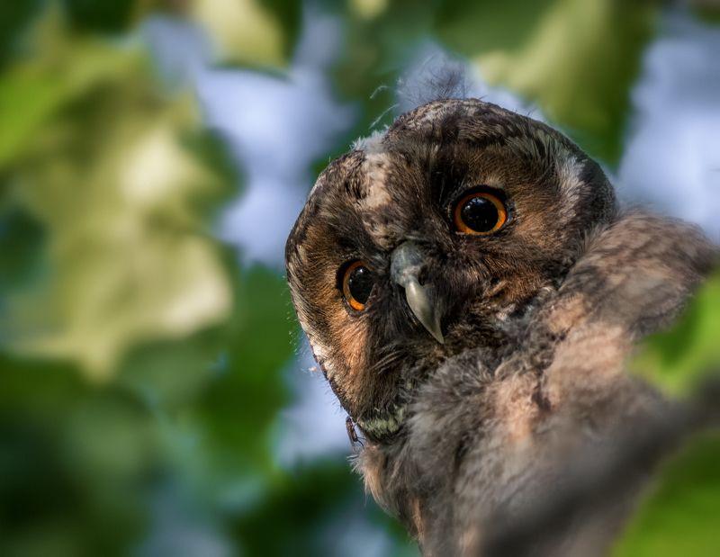 птица, сова, слёток, совёнок ушастой совы.photo preview