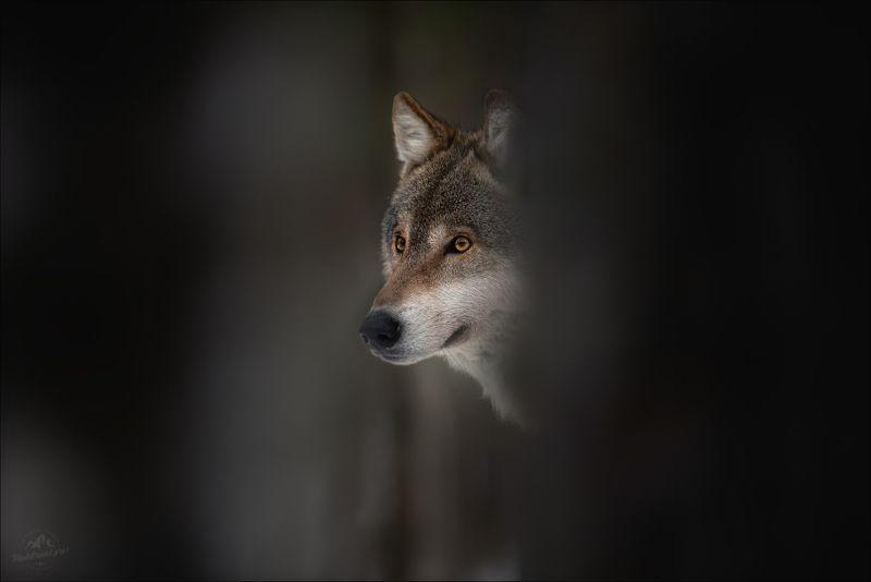 волк, wolf, красная шапочка, беларусь, красный бор, фототур в красный бор, фотоохота, canis lupus, red riding hood, серый волк, обыкновенный волк, евразийский волк, европейский волк Час волка ..photo preview