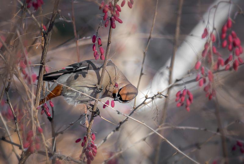 птица, свиристель,  барбарис, зима, февраль, В зарослях барбариса (февраль).photo preview