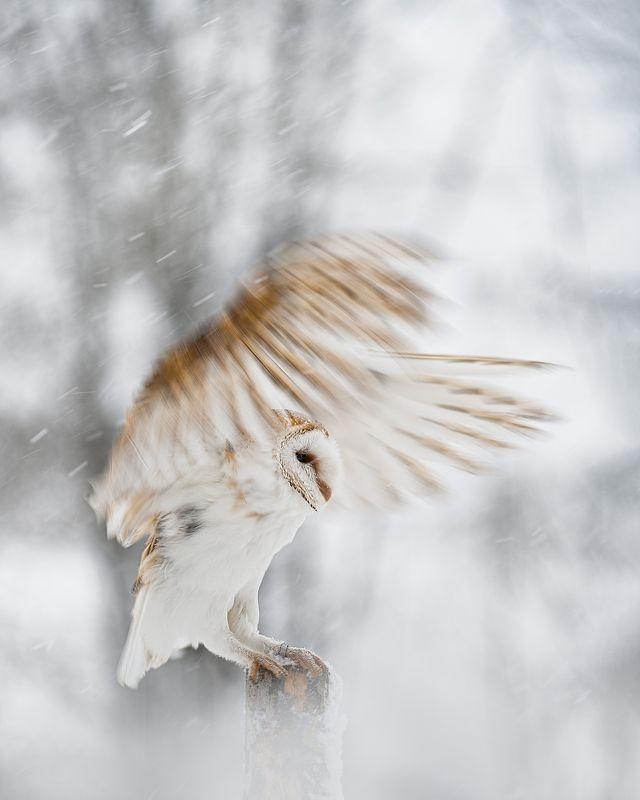 barn owl, bird, owl, snowfall, winter, wings, fly Barn owl in snowfallphoto preview