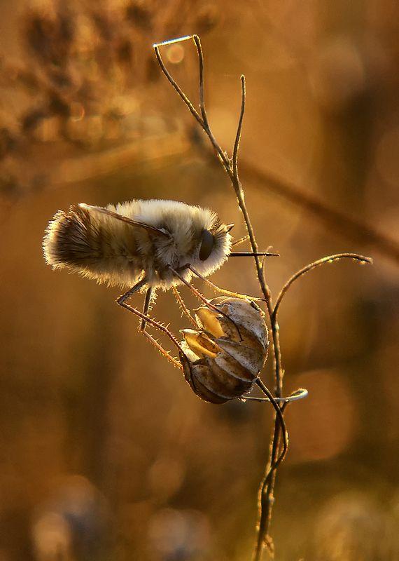 макро, насекомые, муха жужжало Высокое напряжениеphoto preview