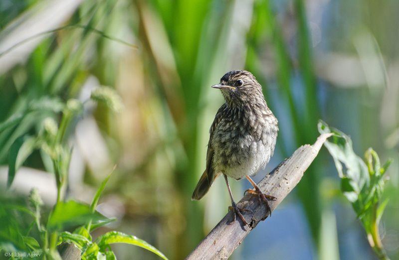 птица, варакушка, слёток Молодая варакушкаphoto preview