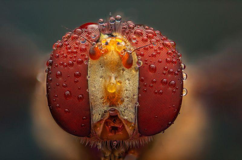 макро муха журчалка насекомые макрофото макромир Портрет мухи-журчалкиphoto preview