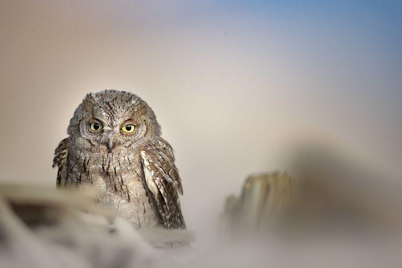 Eurasian scoops Owlphoto preview