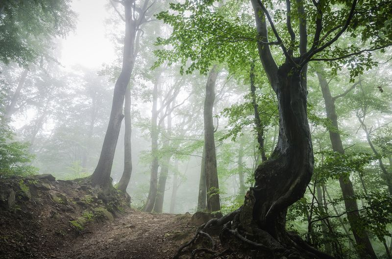 fores, fog, morning, ***photo preview