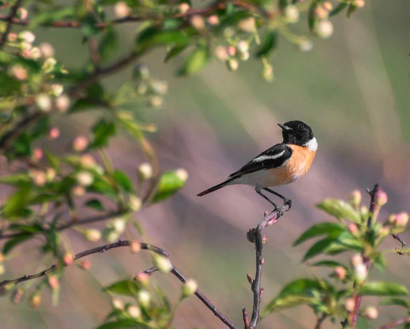 птица, черноголовый чекан, весна, черноголовый чекан.. (самец)photo preview