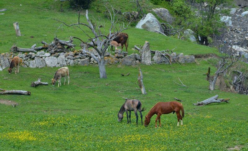 Кабардино-Балкария, горы, весна , лошади, Верхняя Балкария, Жажда весныphoto preview