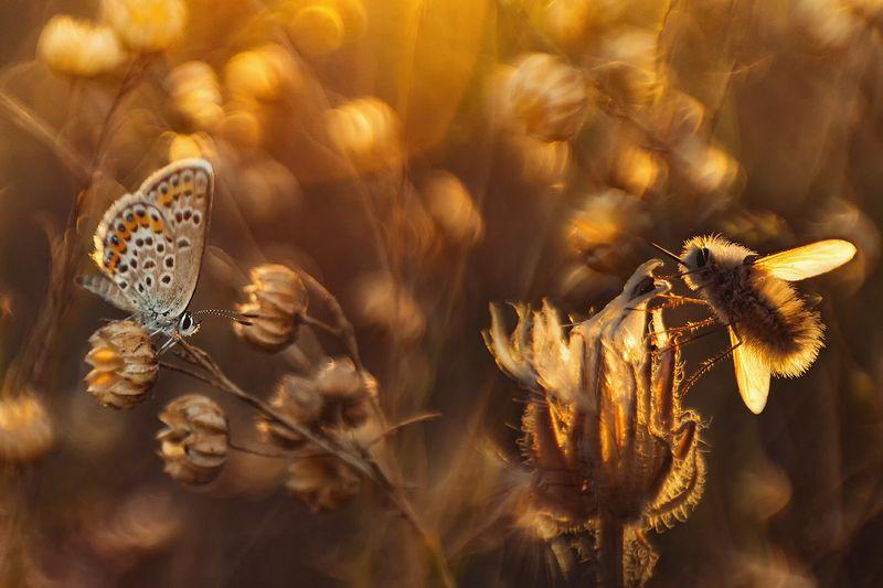 макро, насекомые, муха жужжало, бабочка, голубянка Тихий вечерphoto preview