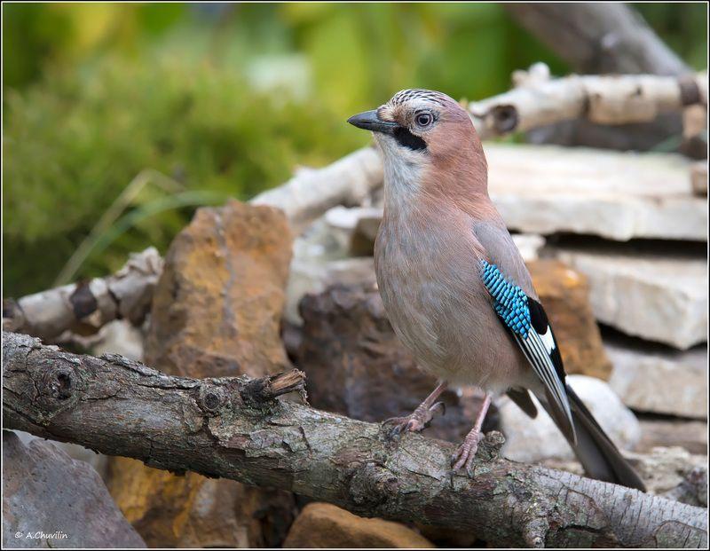 птица,сойка Сойкаphoto preview