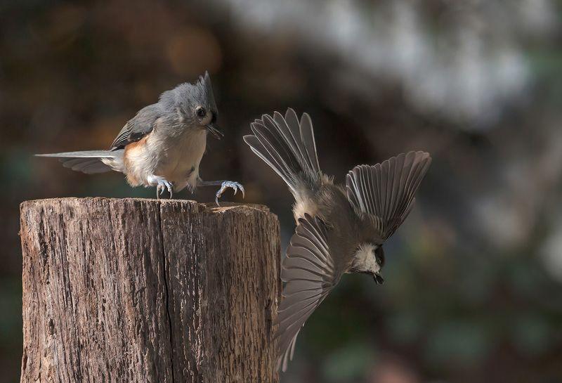 птицы,синички,острохохлая синица,фауна,фото охота,юмор,животные, Та-да-да- дам...!!!photo preview