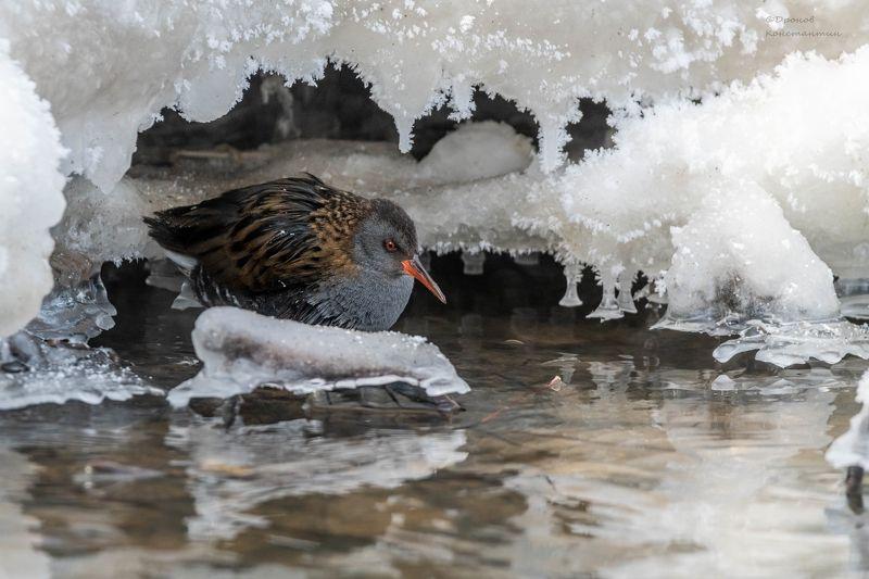 водяной пастушок, птицы, фотоохота На зимних квартирахphoto preview