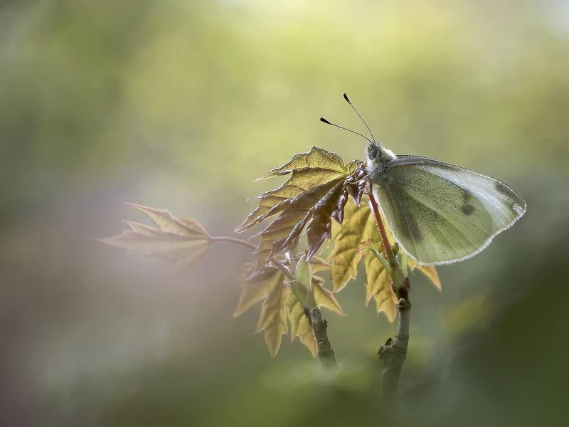 макро, бабочка, белянка Утренняя дрёмаphoto preview