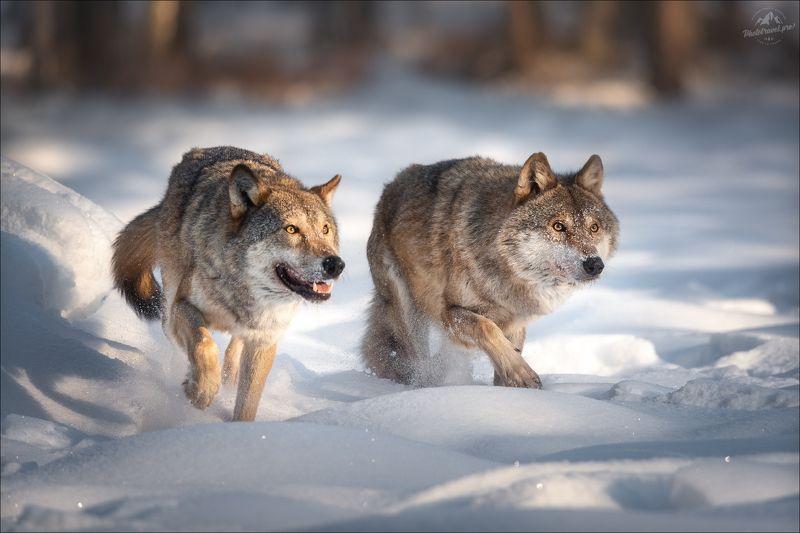 волк, wolf, красная шапочка, беларусь, красный бор, фототур в красный бор, фотоохота, canis lupus, red riding hood, серый волк, обыкновенный волк, евразийский волк, европейский волк Хороший, плохой, ...photo preview
