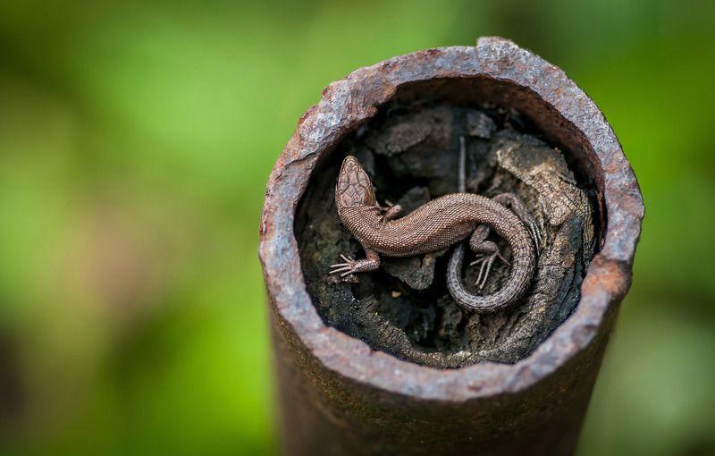 ящерица, природа, зеленый, макро, лето, animal, macro, lizard Живая брошь.photo preview