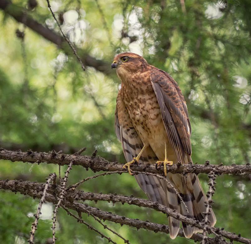 птица, ястреб перепелятник, молодой красивый гордый перепелятник..photo preview