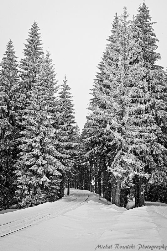 winter, ,season, ,blackandwhite, ,snow, ,landscape, ,trees, ,photography, ,sketching, ,spruce Spruces as sketched with a penphoto preview