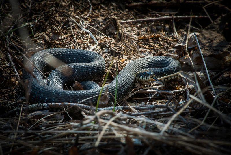 уж, змея, животные, природа, карелия, рептилия, snake, animal, karelia, natrix Обыкновенный уж (Natrix natrix).photo preview