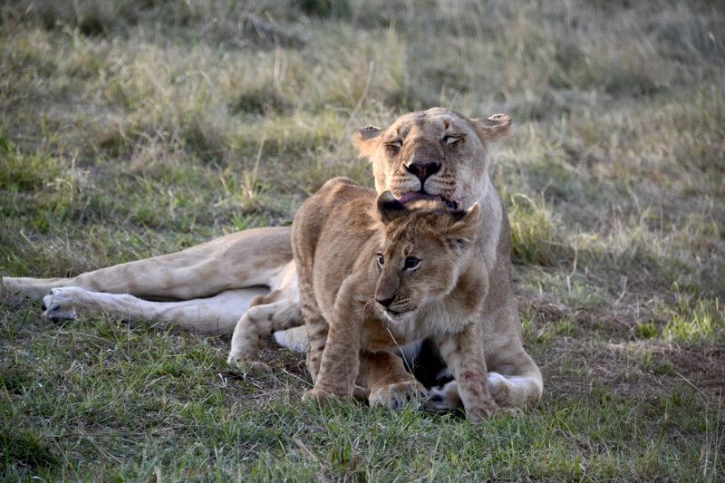 Animals, lion, big cat, wild life, fauna, Africa, Kenya, light, Masai Mara, national park, washing,  Утреннее умываниеphoto preview