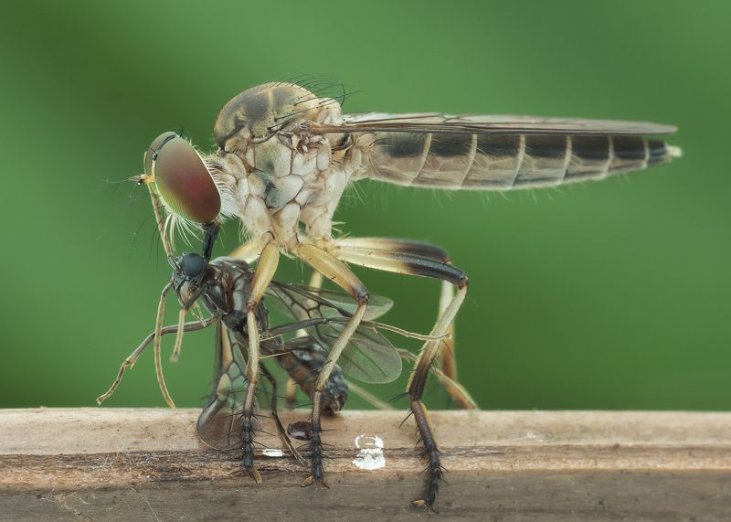 #robberfly#macro#colors#prey Robberfly With Preyphoto preview