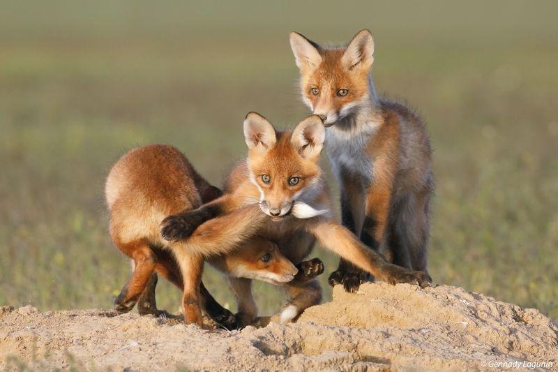 fox Дружеская играphoto preview