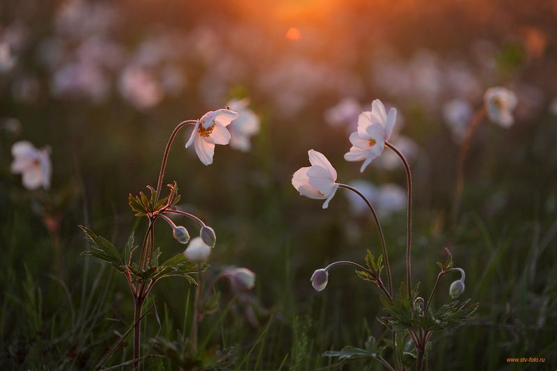 природа, лето, цветы, анемоны, вечер, закат Вечерний разговорphoto preview