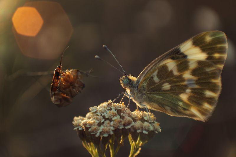 макро,насекомые, бабочка, наездник Вечерний разговорphoto preview