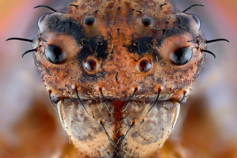 irass, waledzik, nat geo, olympus, close up, macro, extreme macro, spider, makpo Bad Boy.photo preview