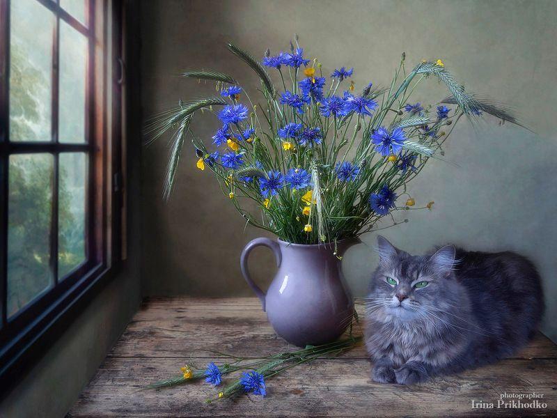 натюрморт, лето, полевые цветы, васильки, питомцы, кошка Масяня, постановочное фото В гармонии с василькамиphoto preview