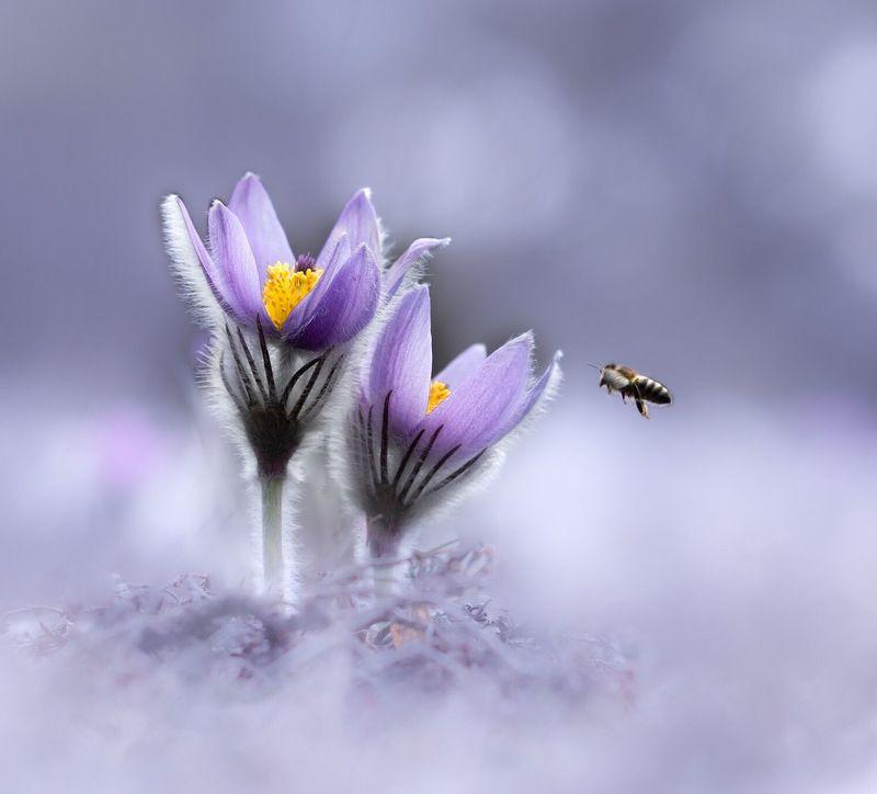 сон-трава, pulsatilla Крымская веснаphoto preview