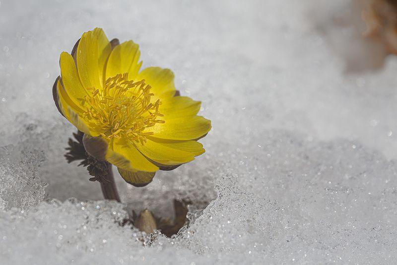 адонис амурский adonis amurensis снег март Адонисы фото превью