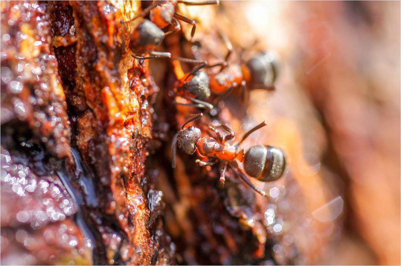 муравьи Пить березовый сокphoto preview