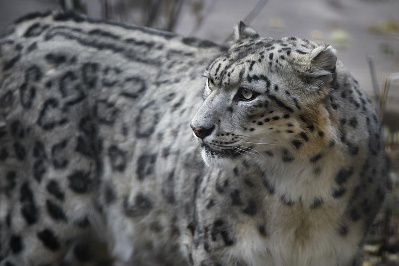 Snow Leopardphoto preview