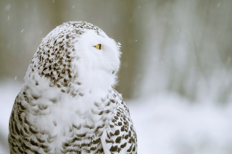 snowy owl, snow, winter, white Snowy owlphoto preview