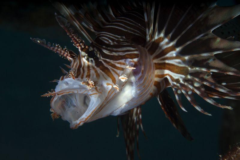 крылатки, макрофото египет хургада дайвинг подводноефото Ужас летящий на крыльях ночиphoto preview