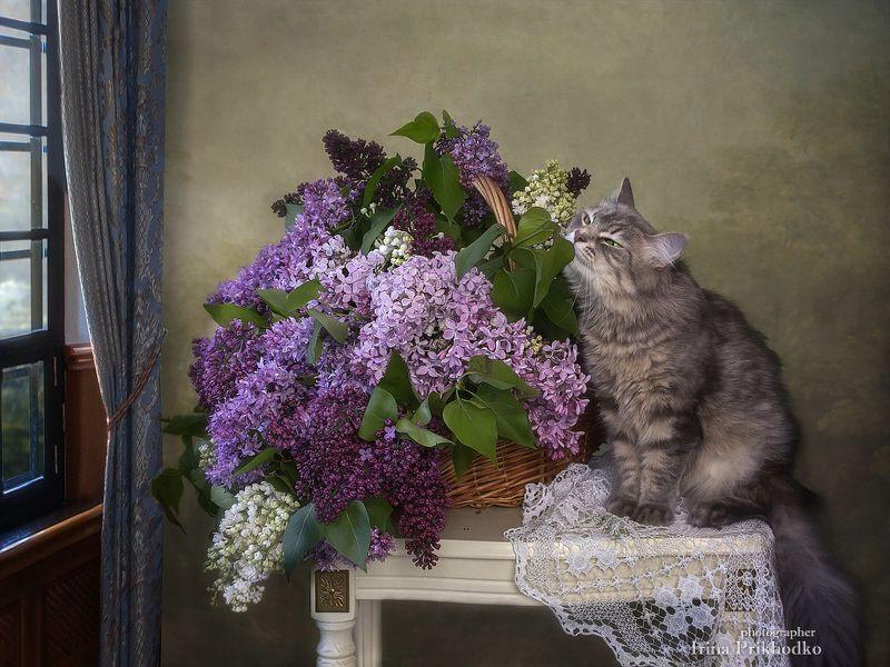 натюрморт, весна, цветы, сирень, винтажный, букеты, кошка Масяня, питомцы, постановочное фото Упоительный аромат сирениphoto preview