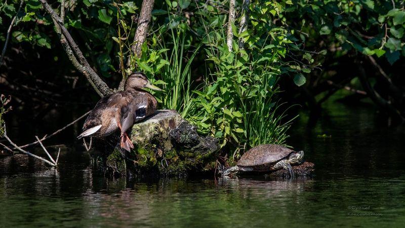 утка, кряква, черепаха, фотоохота Сиестаphoto preview